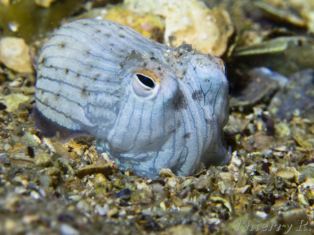 d1c9ef2533 Striped Pyjama Squid - Sepioloidea lineolata